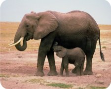 Elephant Air Freshener