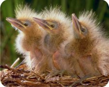 Baby Birds Air Freshener