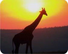 Giraffe Air Freshener | My Air Freshener
