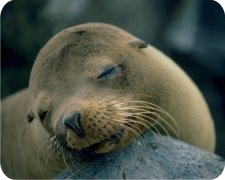 Sleeping Baby Seal Air Freshener - My Air Freshener