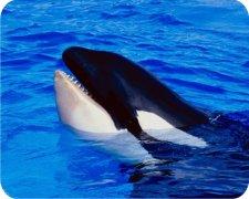 Killer Whale Air Freshener