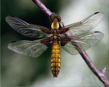 Eco Friendly Air Fresheners | My Air Freshener - Dragonfly - My Air Freshener